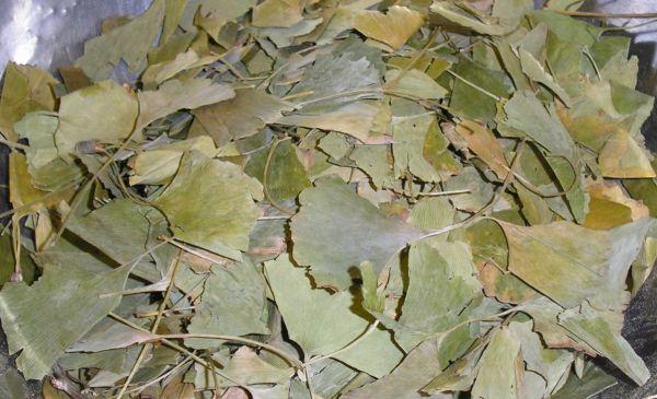 Ginkgoblätter ganz